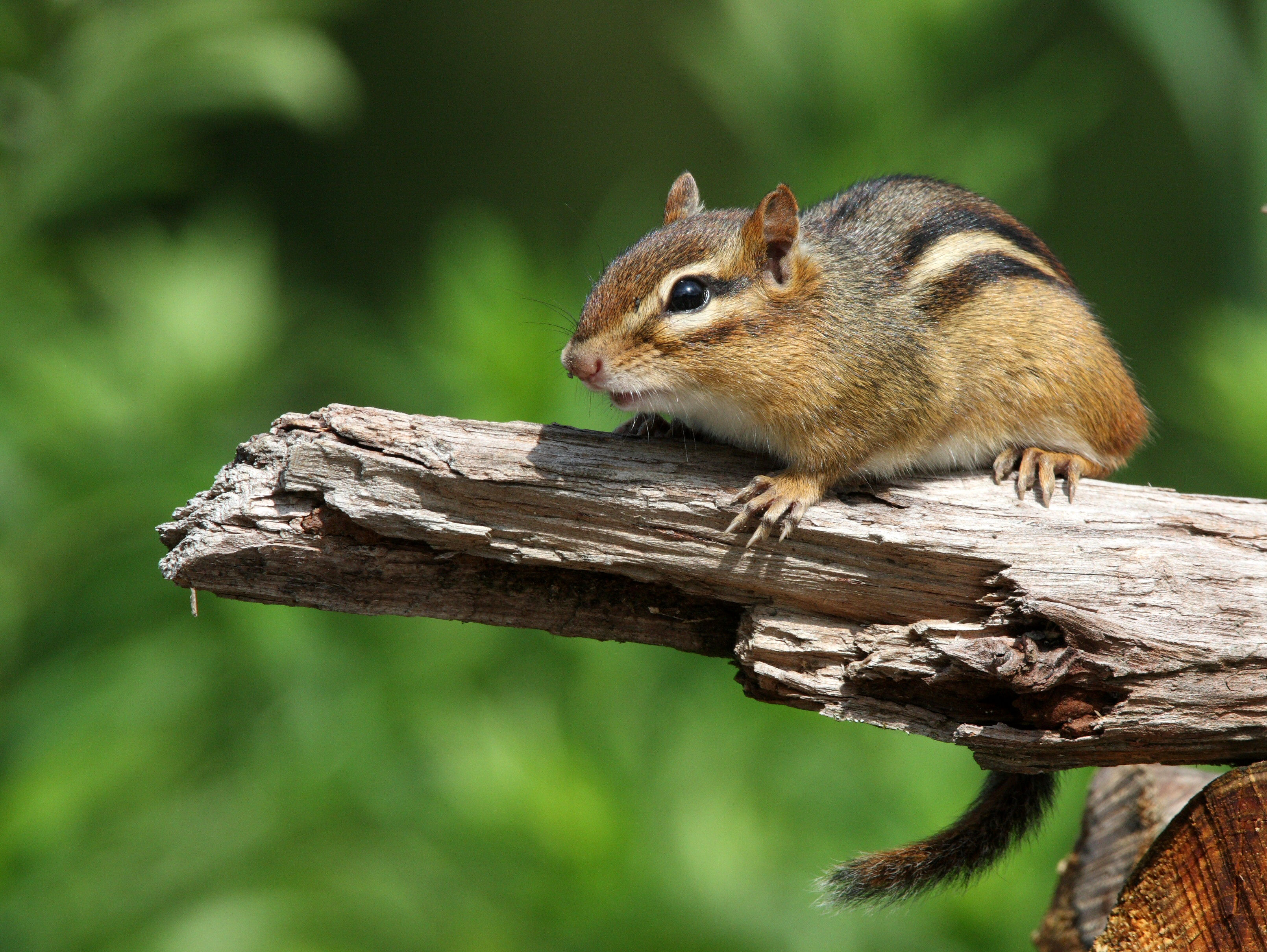 How to deal with problem Chipmunk in New Hampshire