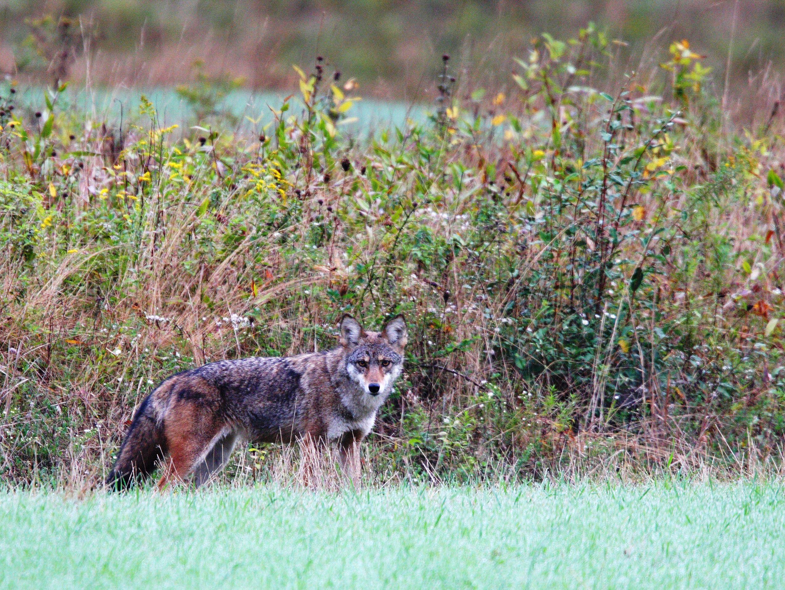 Coyotes deals