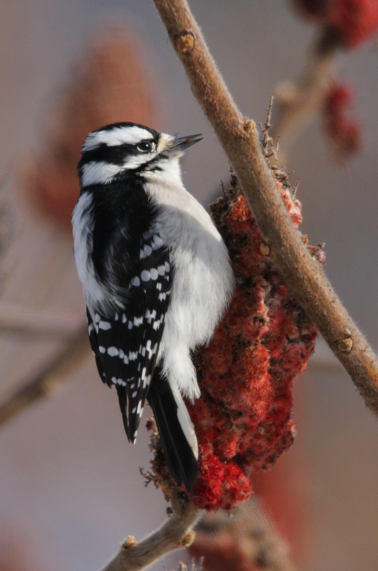 How to deal with problem Woodpecker in Pennsylvania