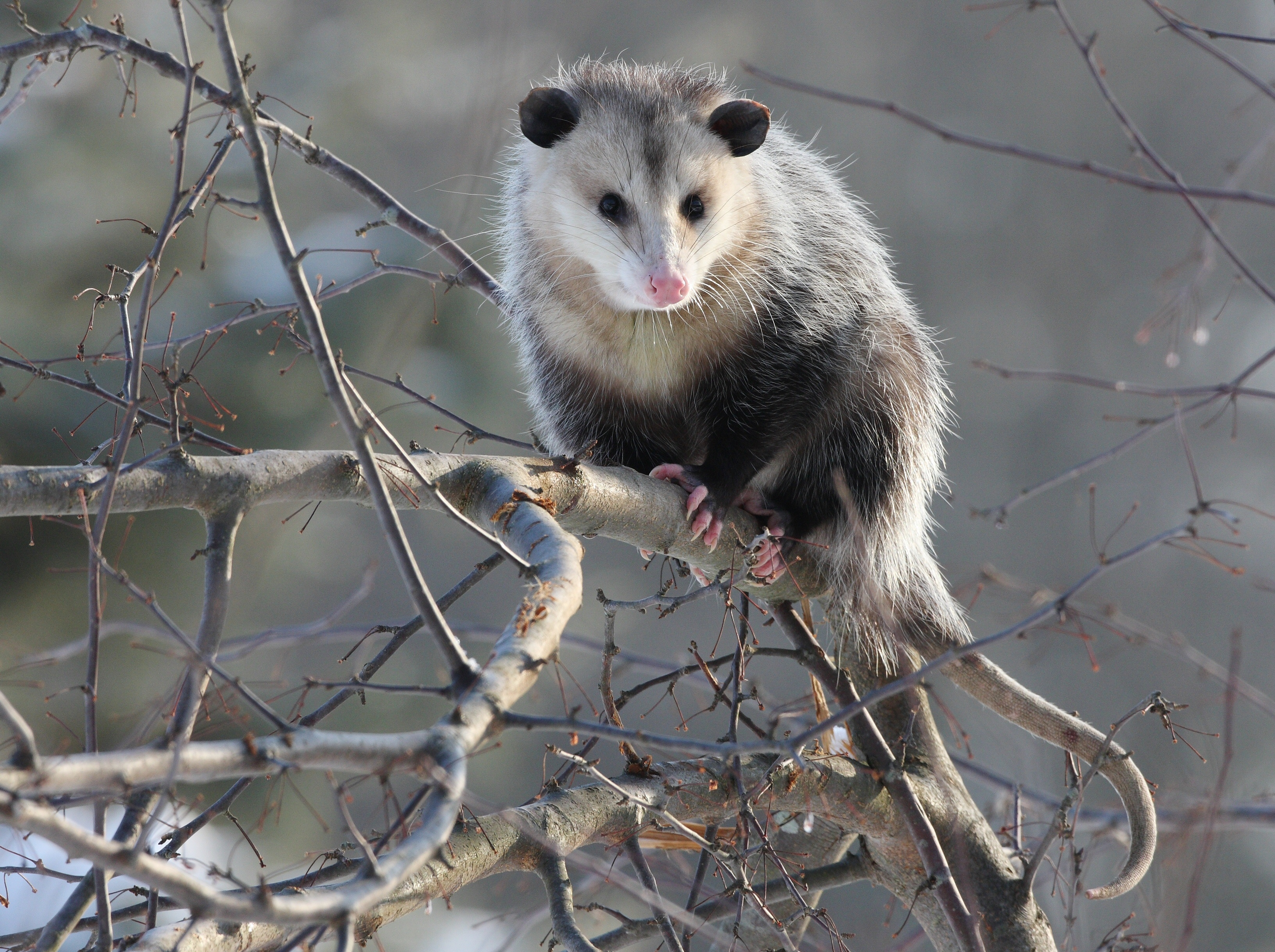 How To Deal With Problem Opossum In Maine Wildlifehelp Org