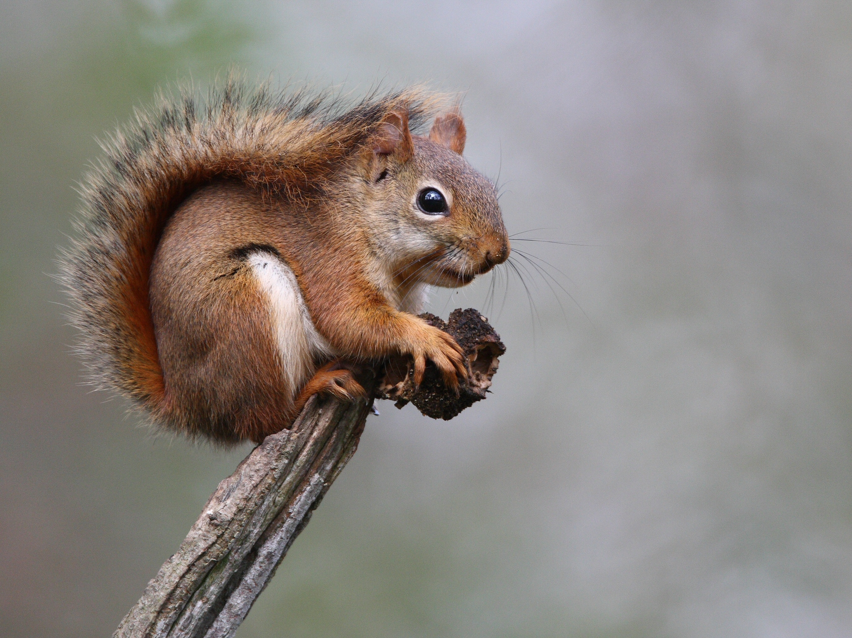 how to deal with problem tree squirrel in massachusetts