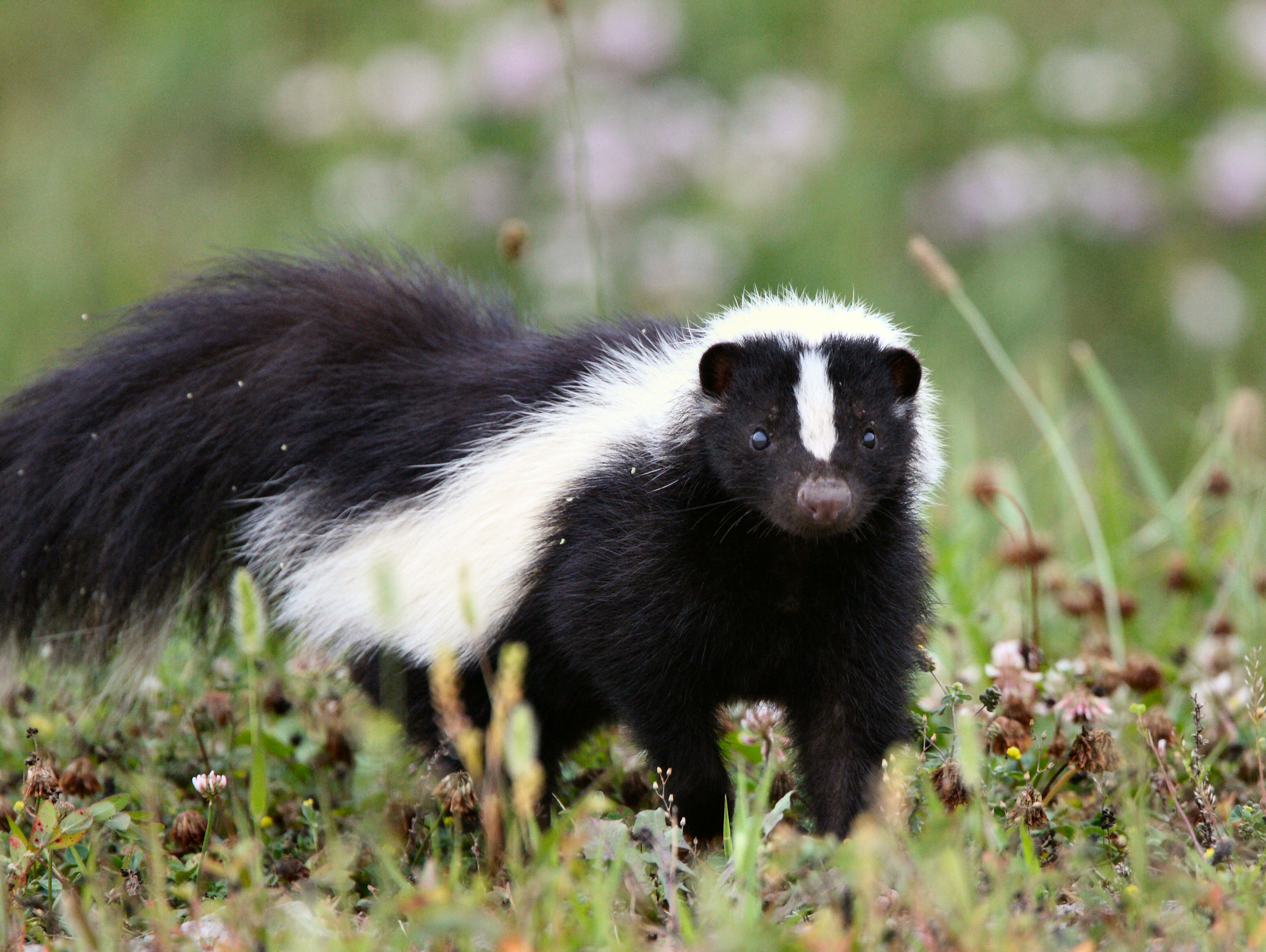 How to deal with problem Skunk in New Hampshire WildlifeHelporg
