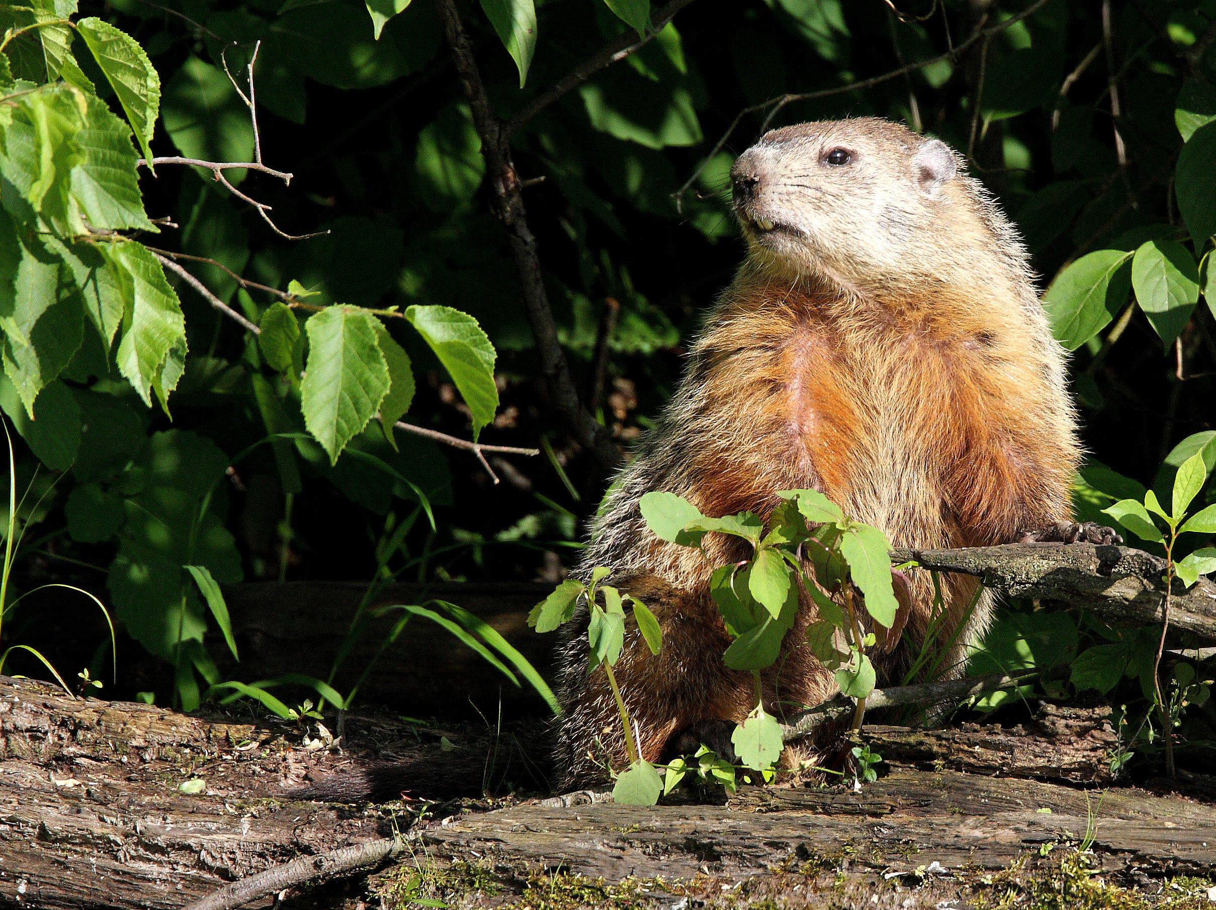 How to deal with problem Woodchuck in Pennsylvania