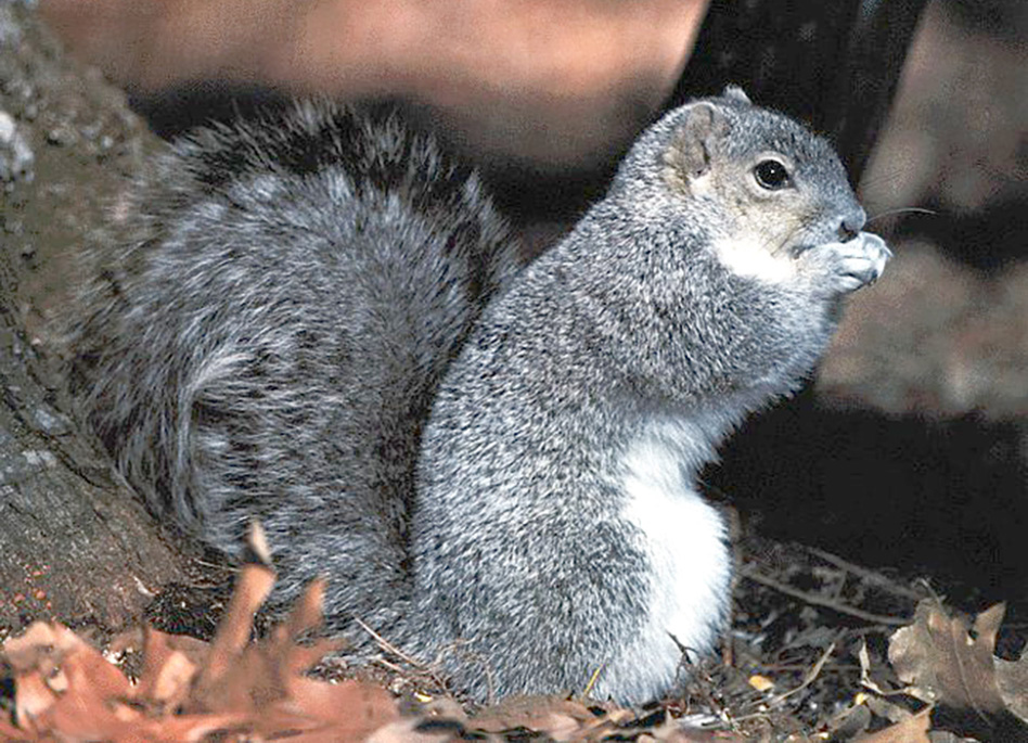 How to deal with problem Tree squirrel in Virginia | WildlifeHelp.org