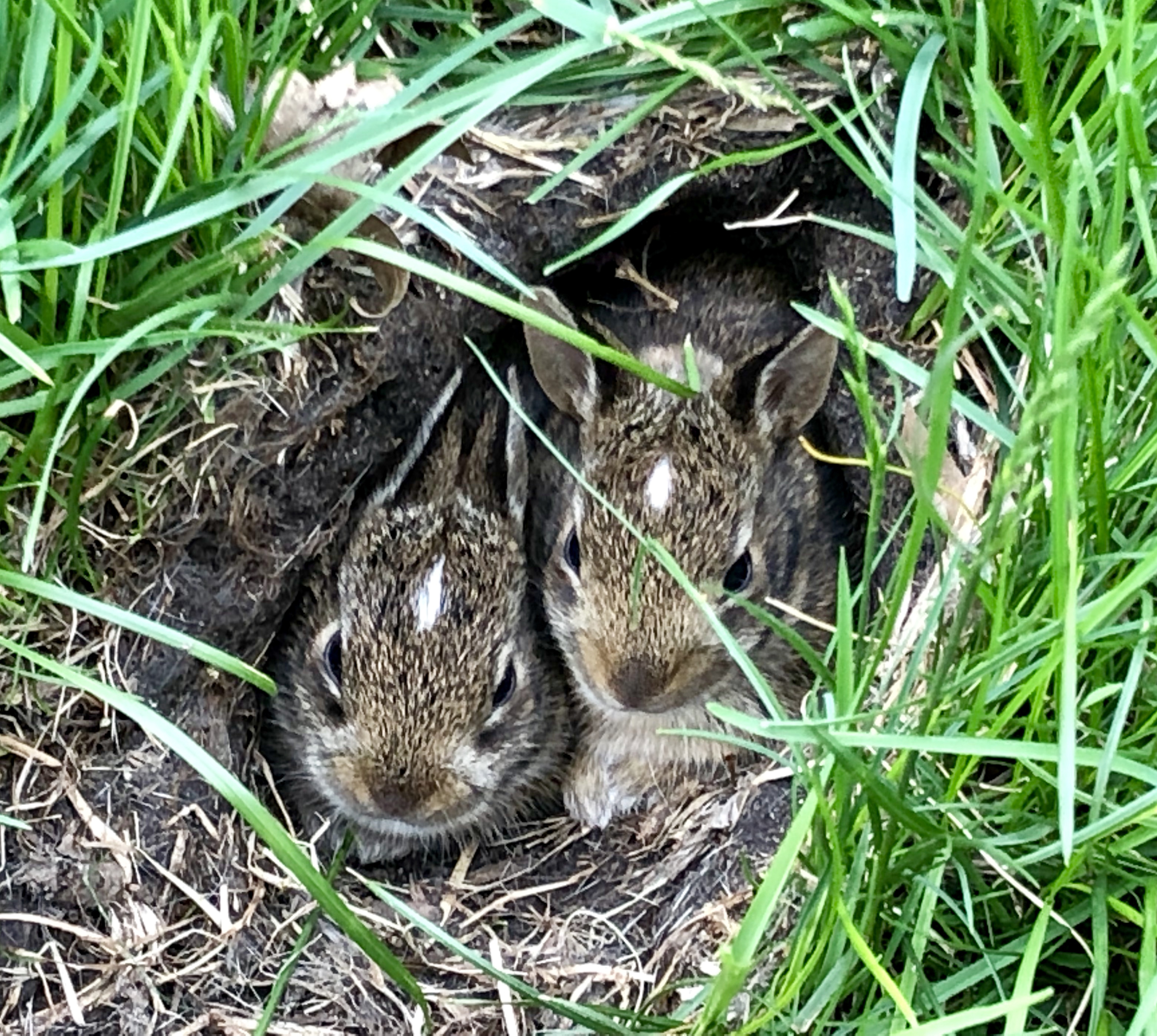 What Should I Do If I Find An Orphaned Or Abandoned Baby Rabbit Bunny In New Hampshire Rabbit Wildlifehelp Org